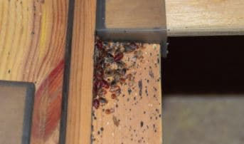 kills bed bugs instantly Permanently