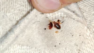 Check For Bed Bugs in Carpet and Clean